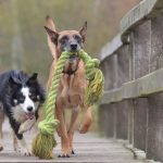 Dogs with rope toy