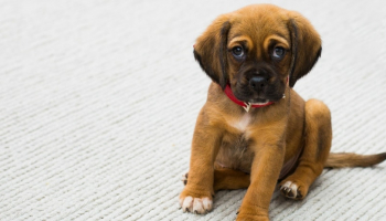 How to Get Dog Pee Out of Carpet Fast and Without Expensive Detergents
