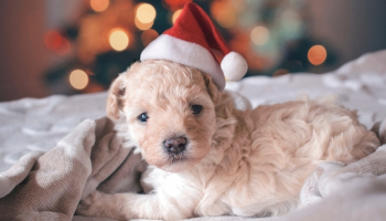 New Puppy Checklist in 2021 — The Essentials of Getting a New Puppy
